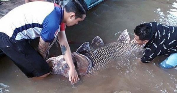 Bắt được cá hô vàng hơn trăm kg trên sông Tiền, bỏ túi gần 300 triệu