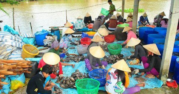 An Giang: Xuất hiện thương lái lạ mặt mua vảy cá sặc rằn