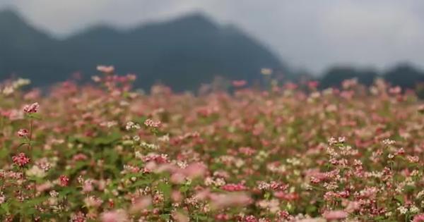 Mê đắm những đồi hoa tam giác mạch đẹp như tranh ở Hà Giang