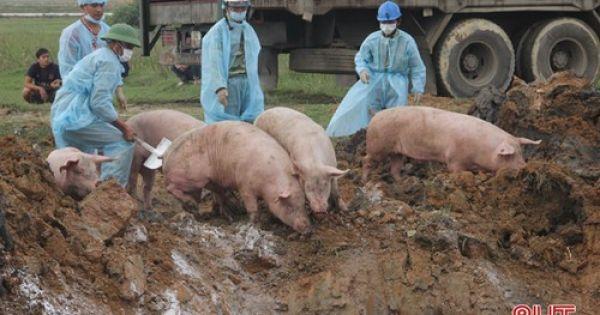 Tiêu hủy gần 100 con heo bệnh bắt giữ trên quốc lộ 1A
