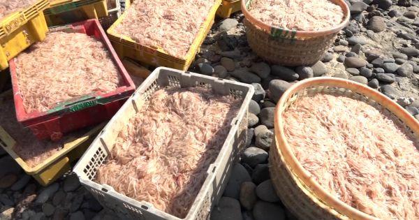 Quảng Ngãi: Ngư dân trúng đậm lộc biển thu bạc triệu ngày Tết