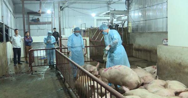 Hà Nội lao đao vì tin đồn dịch tả lợn