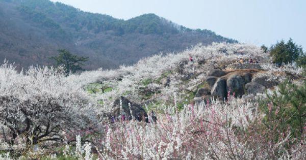 Mê mẩn sắc trắng tinh khôi làng hoa mơ Gwangyang